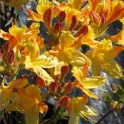 Klondike Azalea rhododendron