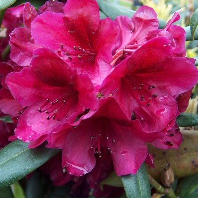 Black Sport Rhododendron rhododendron