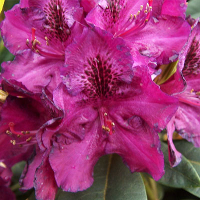 Edith Bosley Rhododendron rhododendron