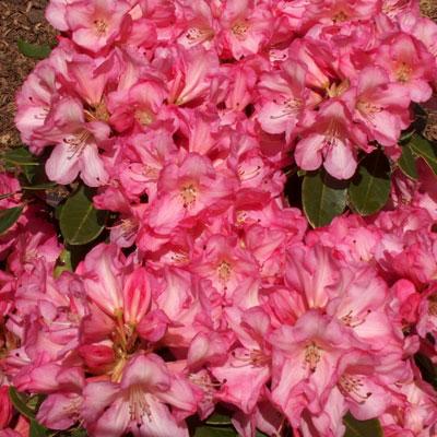 Fantastica Rhododendron rhododendron