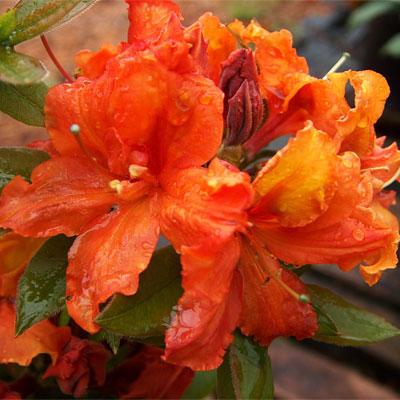Gibraltar Azalea rhododendron