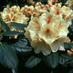 Golden Torch Rhododendron rhododendron