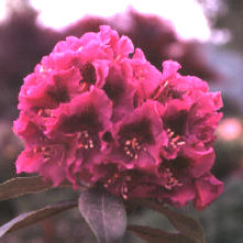 Jonathan Shaw Rhododendron rhododendron