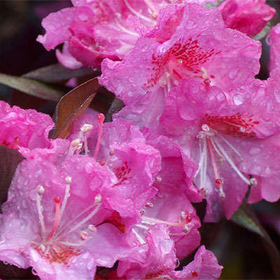 Midnight Ruby Rhododendron rhododendron