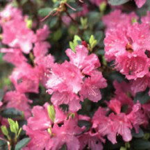 PJM Elite Rhododendron rhododendron