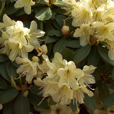 Princess Anne Rhododendron rhododendron
