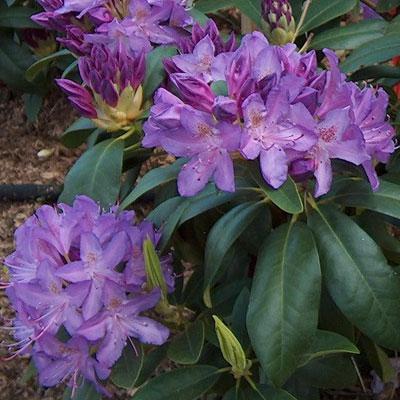 Purpureum Elegance Rhododendron rhododendron