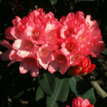 Queen Alice Rhododendron rhododendron