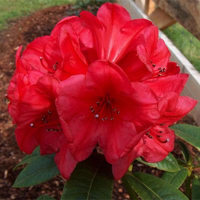 Taurus Rhododendron rhododendron