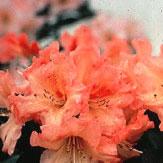 Unique Marmalade Rhododendron rhododendron