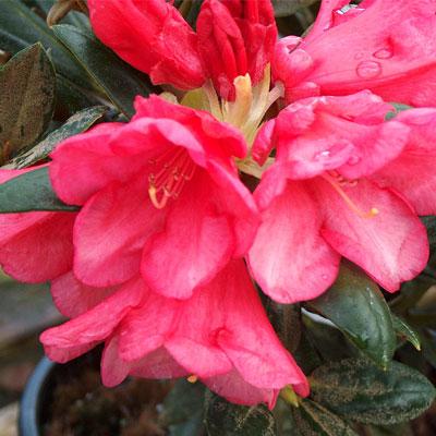 Yummy Yak rhododendron