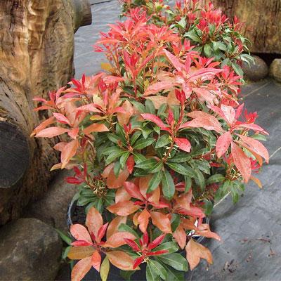Pieris Japonica rhododendron